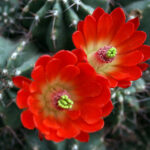 People Skills Civility & Empathy Duo: Image is two red flowers.