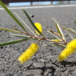 Inspire Future Resilience: Image is Acacia plan growing in concrete.