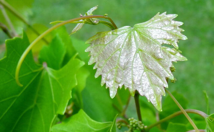 Lead Behavior Change: Image is grape leaves with one a different color